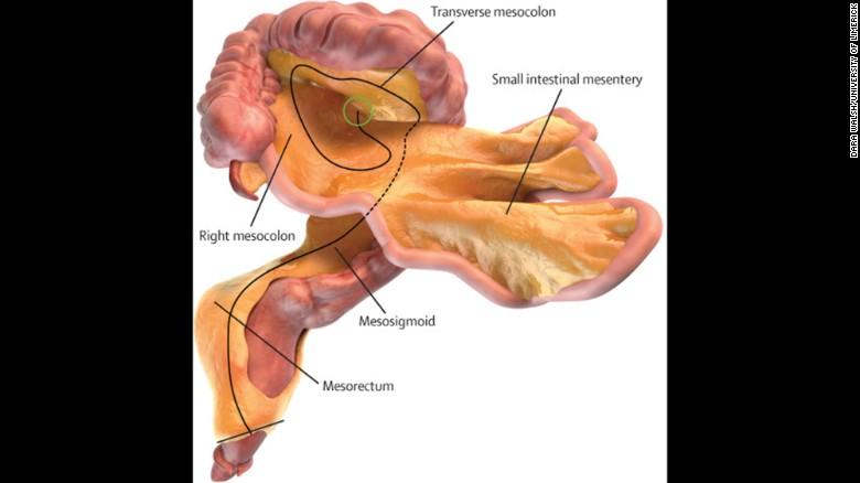 mesentery organ